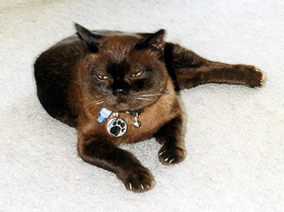 Picture of 2Pac the Brown Burmese cat lying on the carpet.